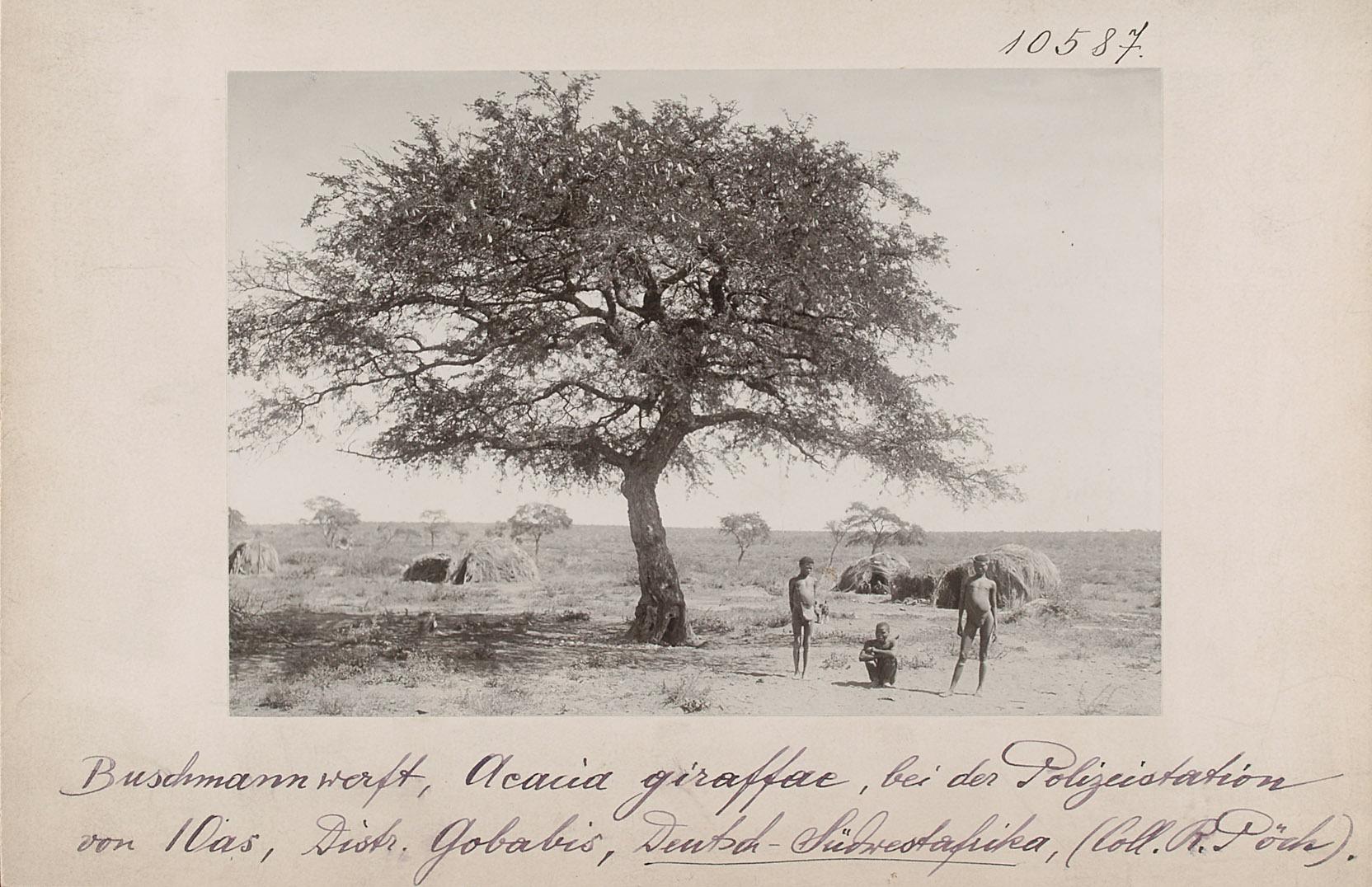 Sanwerft, Aeacia giraffae, bei der Polizeistation von I Oas, Distr. Gobabis, Deutsch-Südwestafrika  von Rudolf Pöch
