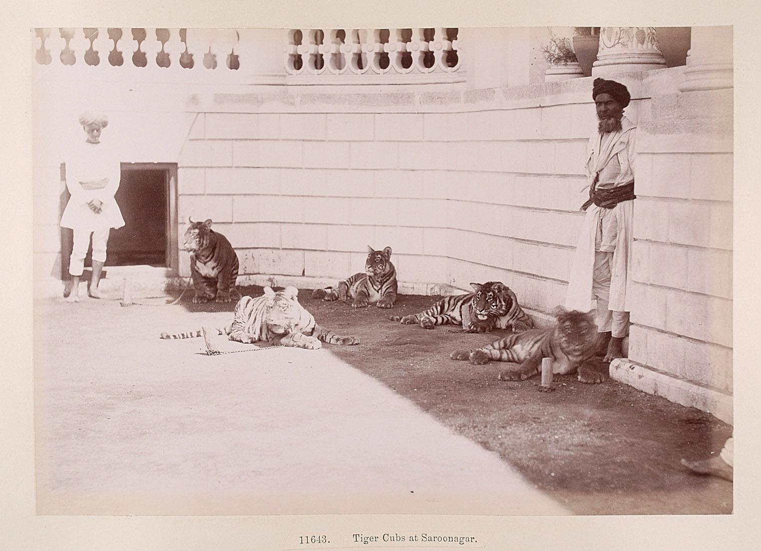 Tiger beim Saroonagar-Palast von Lala Deen Dayal