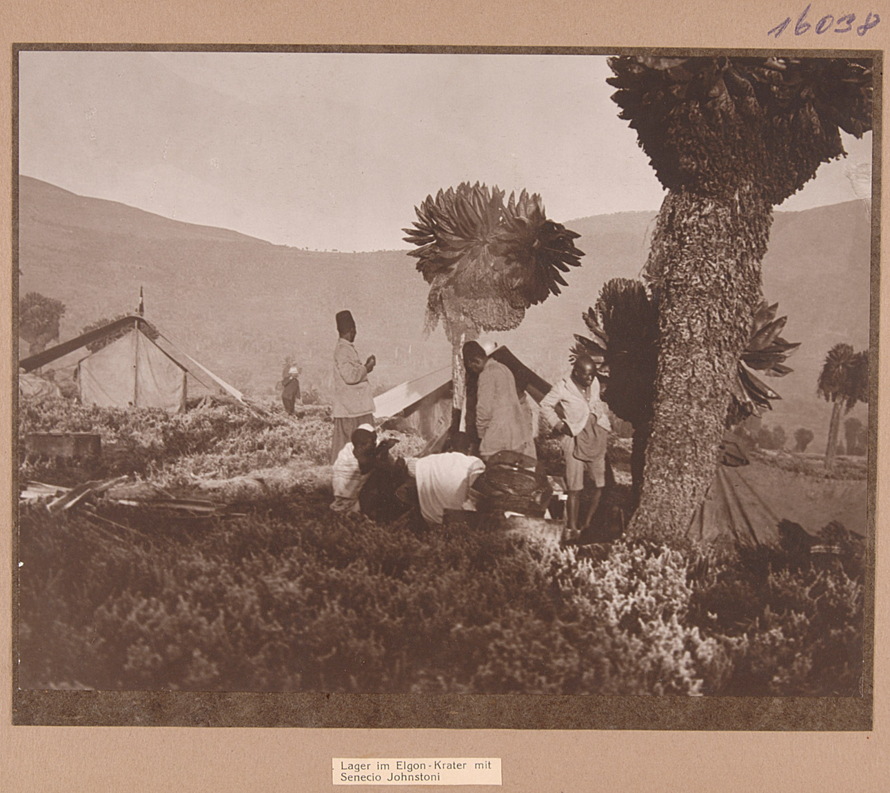 Lager im Elgon-Krater mit Senecio Johnstoni von Rudolf Kmunke